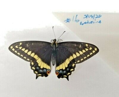 2020 Rare Papilio Indra Male Black Swallowtail Butterfly Wolverine Canyon IDAHO