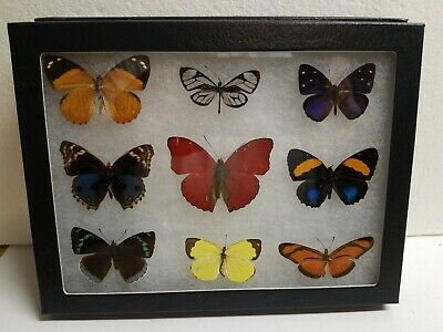 Real framed Butterfly collection amazing minis #2