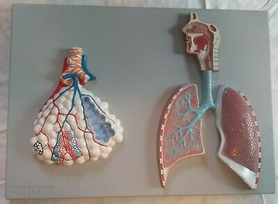 ALTAY used Human Respiratory System Lung Alveoli Biology Medical Teaching Model