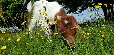 Gift Voucher  / Meet & Greet / Experience Days / Therapy - Goats