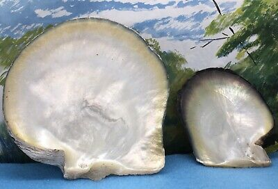 Two Stunning Pearl Oyster Shells. Mother Of Pearl.