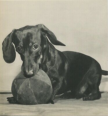 DACHSHUND DOG GUARDS BALL Vintage 75 Year Old Photo Print by YLLA