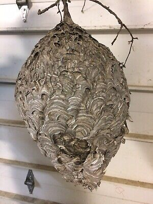 Huge Hornet Nest Bee Wasp Apple Tree Bees Hive Science Taxidermy Rustic Decor