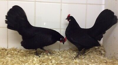 6 Show Quality Black Dutch Bantam Hatching Eggs