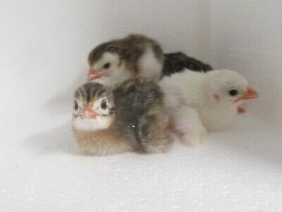 Fertile and Ready! 6 Guinea  Hatching Eggs
