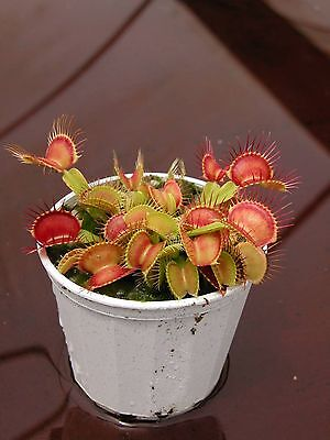 Venus Fly Trap Carnivorous Plant Pack of 10 plants