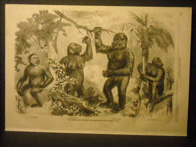 """Gorilla """" Man Monkey's """" Engraving and report 1859"""