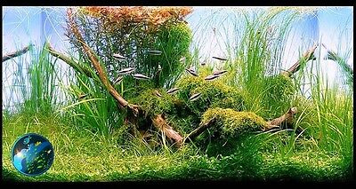 Weeping Moss-for live hornwort star grass fish tank BF