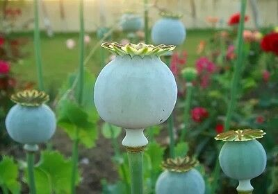 AMAPOLA COGOLLO GIGANTE giant poppy  200 Semillas Seeds
