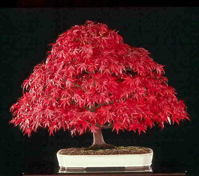 AMUR MAPLE - BONSAI 20 Semillas Seeds