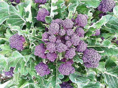 BROCOLI VIOLETA ( purple broccoli ) 110 Semillas/ SEEDS