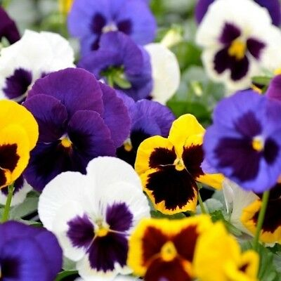 Pansy - Amsterdam Giant Mixed - 250 Seeds