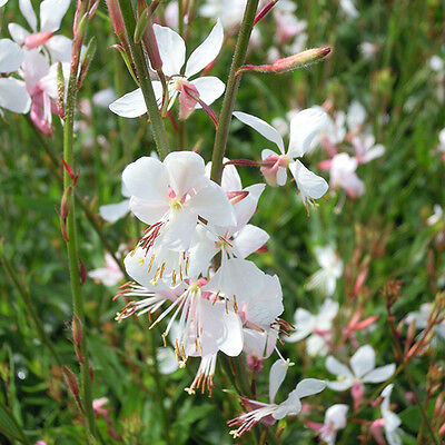 Gaura lindheimeri - The Bride - 15 Seeds