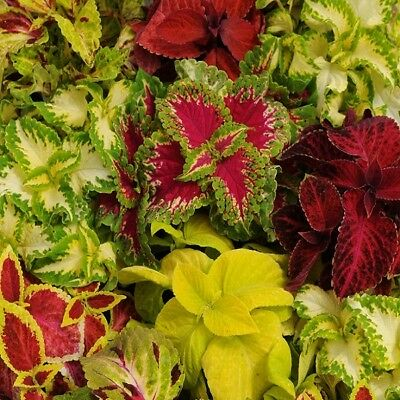 Coleus - Wizard Mixed - 50 Seeds