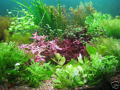 75 STEM AND PLANT MIX Live aquarium aquatic plants SUPERB QUALITY & VALUE