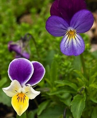 Wildflower Seeds - Wild Pansy / Heartease - 300 Seeds