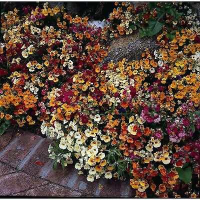 Nemesia - Carnival Mixed - 2000 Seeds