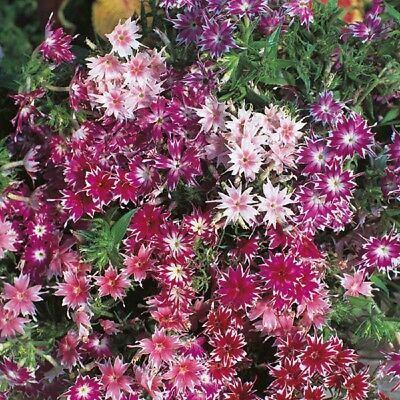 Phlox - Twinkle Star Mixed - 250 Seeds