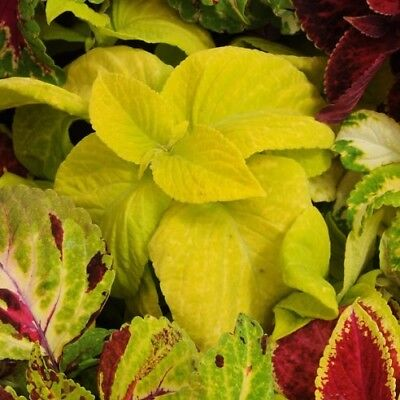 Coleus - Wizard Golden - 50 Seeds