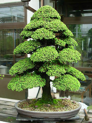 SACRED JAPANESE CEDAR - 20 Semillas bonsai seeds semi