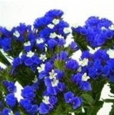 Statice - Sunburst Series - Dark Blue - 50 Seeds