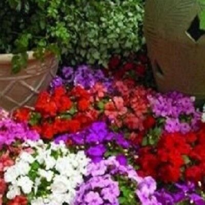 Impatiens/Busy Lizzy - Xtreme Mixed F1 - 25 Seeds