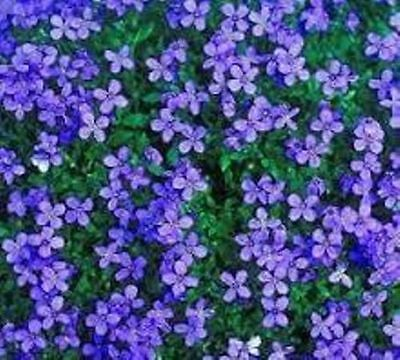 Aubrietia - Royal Blue - 250 Seeds