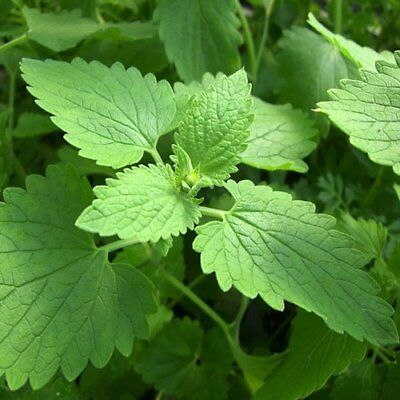 Herb Seeds - Catnip - 2500 Seeds