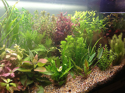 50 Live Tropical Aquarium Plants - Stems and plant mix - SUPERB QUALITY & VALUE