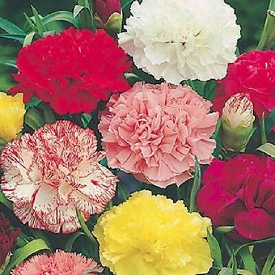 Carnation Chabaud Giants Mix Fragrant x50 seeds F0087