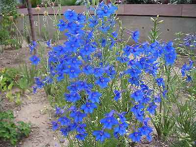 """F0156 Delphinium """"Blue Butterfly"""" x50 seeds - Very Showy"""