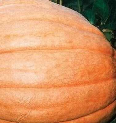 Vegetable - Pumpkin - Dills Atlantic Giant - 10 Seeds