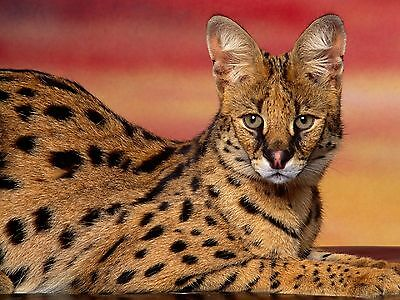 Serval / Wildcat 8 x 10 / 8x10 GLOSSY Photo Picture