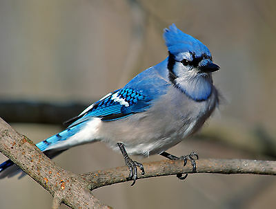 Blue Jay / BIRD 8 x 10 / 8x10 GLOSSY Photo Picture