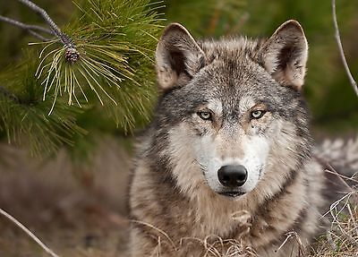 Wolf  8 x 10 / 8x10 GLOSSY Photo Picture IMAGE #2