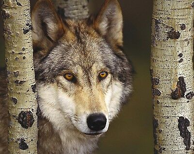 Wolf 8 x 10 / 8x10 GLOSSY Photo Picture IMAGE #12
