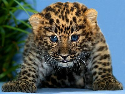 Baby Leopard Cub / Wildcat 8 x 10 / 8x10 GLOSSY Photo Picture IMAGE #2