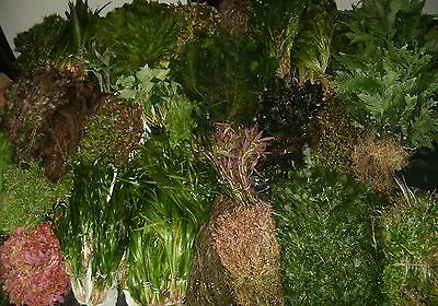 Bunched And Weighted Aquarium Aquatic Fish Tank Live Plants Tropical Fresh Water