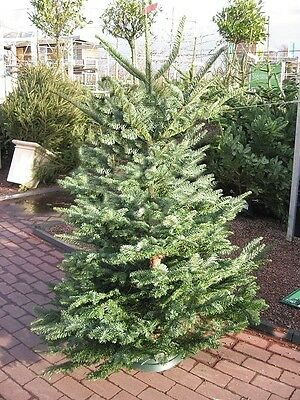 HOW TO MAKE MONEY SELLING CHRISTMAS TREES. PLUS STOCK only £12.50