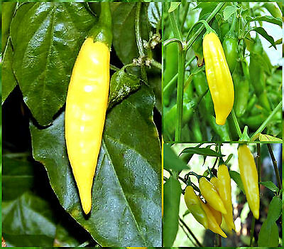 10 Semi/Seeds DI PEPERONCINO  LEMON DROP HOT