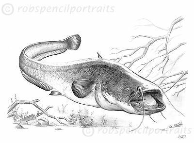 WELS CATFISH (Silurus Glanis) Limited Edition Coarse Fish Pencil Drawing Print