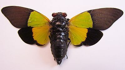 Giant Colorful Cicada Trengganua sybylla FAST SHIP FROM USA