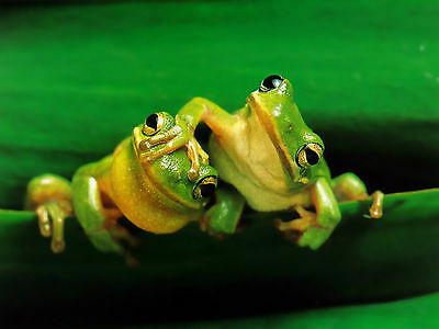 Frog - Frogs 8X10 Glossy Photo Picture