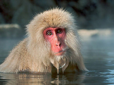 Monkey 8X10 Glossy Photo Picture Image #2