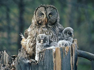 Owl - Bird 8X10 Glossy Photo Picture Image #12