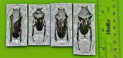 Longhorn Beetle Diastocera wallichi tonkinensis Pair 30-40mm FAST SHIP FROM USA