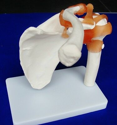 Model Anatomy Professional Medical Shoulder Joint Life Size IT-008 ARTMED