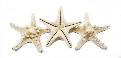 A set of 3 large Thorny Starfish approx 12cm