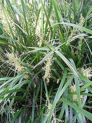 SLENDER GREEN MAT RUSH (Lomandra Hystrix) NATIVE X 30 Seeds