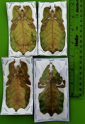 "One Rare Leaf Mimic Phyllium pulchrifolium Yellow Female 3""+ FAST SHIP FROM USA"